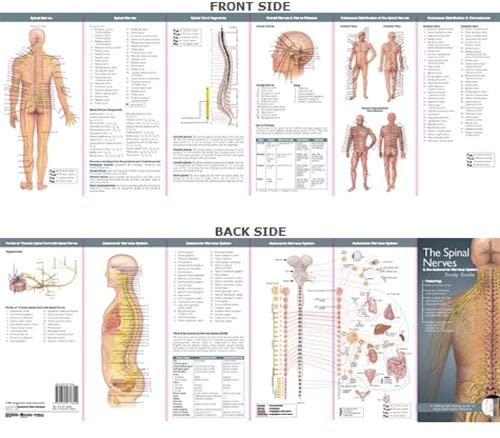 Spinal Nerves and the Autonomic Nervous System: Study Guide (Anatomical Chart Company's Illustrated Pocket Anatomy) Prepared for publication by Anatomical Chart Company