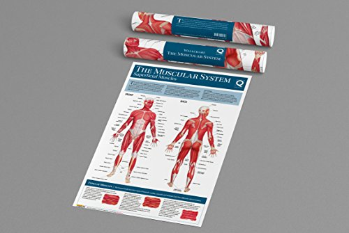 Human Anatomy Wallchart: The Muscular System By Quad Books