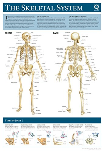 Human Anatomy Wallchart: The Skeletal System By Quad Books
